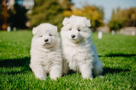 Samoyed puppies on the grass