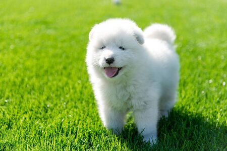 Samoyed puppy sitting on green grass