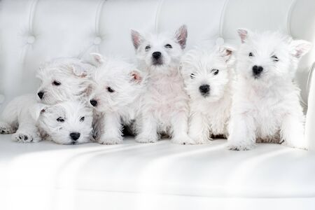Six West Highland White Terrier puppies sit together