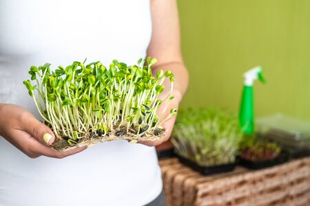 Woman holding organic sunflower microgreen sprouts, healthy lifestyle, help mother nature concept Zdjęcie Seryjne