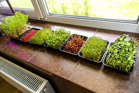 Growing micro greens standing on window sill, healthy nutrition concept, organic food