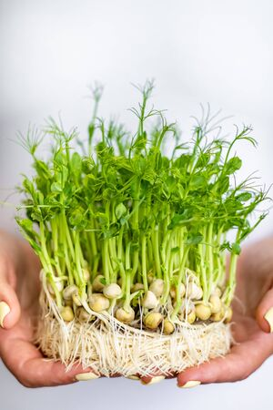 Woman holding organic peas microgreen sprouts, healthy lifestyle, help mother nature concept