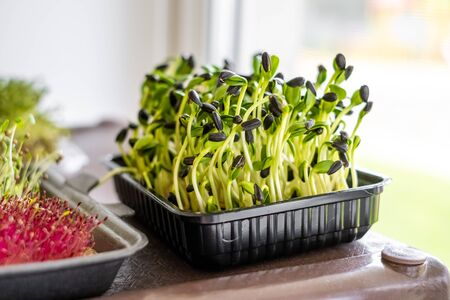 Microgreen sprouts close up, healthy food and lifestyle concept, vegetarian nutrition