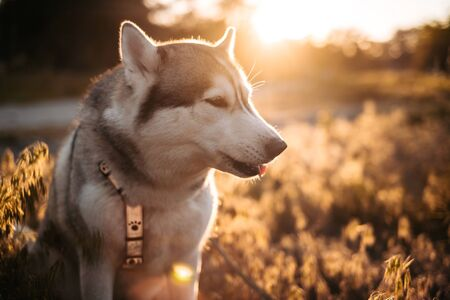 Beautiful Husky dog howling during training, walking with owner outside Zdjęcie Seryjne