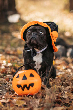 Portrait of a dog in a Halloween costume with a pumpkin basket in the park with yellow leaves. Halloween concept Standard-Bild