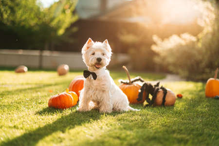 Funny West Highland White Terrier dog decorated with photo props sits near orange pumpkins, at home. Preparation for the celebration. Wallet or life. Happy Halloween and autumn concept.