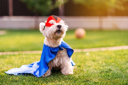 Cute and funny dog wearing superhero mask and cape, posing to camera and yawning, animals rights concept