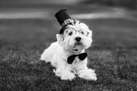 Cute west highland white terrier dog with bow tie and top hat