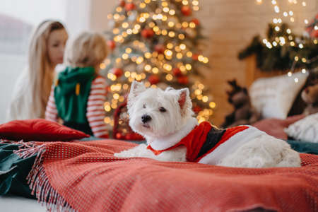 Cute fluffy dog lying on bed in Santa costume, family decorating New Year tree on background, Christmas present, miracle Reklamní fotografie