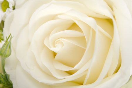 close up of white rose photo