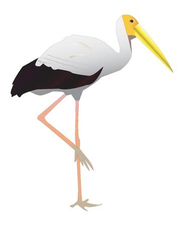 tollas: Közös Stork sétált egy hosszú csőr Illusztráció