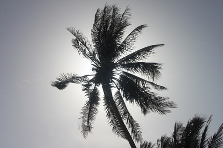 A bottom view to a palm with the sun light through in Samui island in Thailand photo