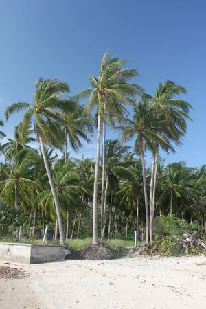 Jungle palms and jungle forest on a sand beach in Koh Samui island in Thailand photo
