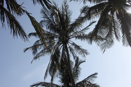A bottom view to a palm in Samui island in Thailand photo