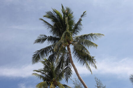 A bottom view to a coconut palm in Koh Samui island in Thailand photo