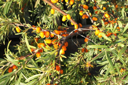 bacca: Branches of sea-buckthorn with yellow berry and green leaves