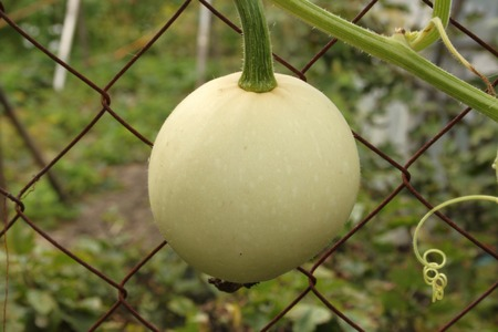 cucurbit: A small yellow round decorative (ornamental) pumpkin (gourd, cucurbit) with green thin stalk (stem) on a rusty metallic net in a dacha garden in a village