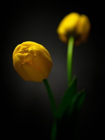 yello: Yello tulips on black