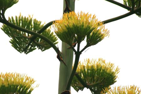 flowering cactus: agave, blossoming