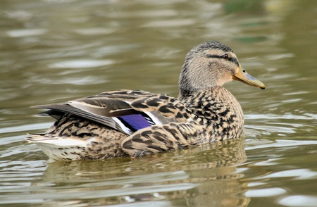 aquatic bird: duck on pool Stock Photo
