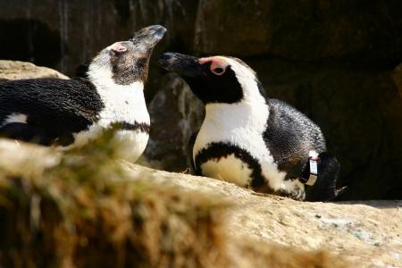 aquatic bird: penguin Stock Photo