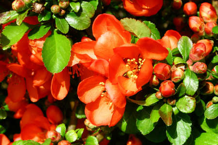 membrillo: membrillo floreciente Foto de archivo