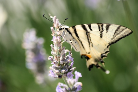 western tiger swallowtail on lavender