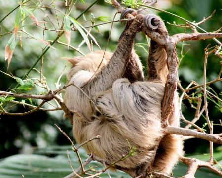 sloth: pereza Foto de archivo