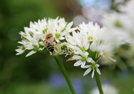 bumble bee on wood garlic photo