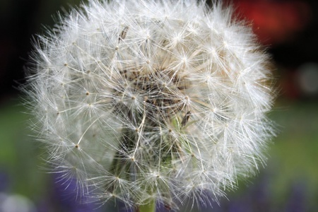 dandelion seed photo