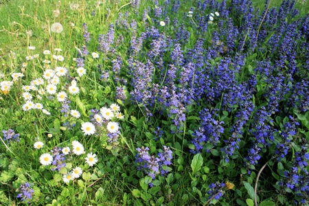 Daisy s and bugleweed photo