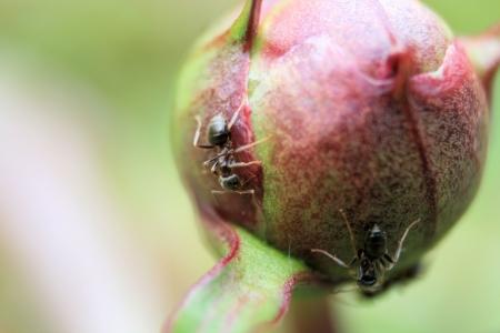 pismire: ants on a peony bud