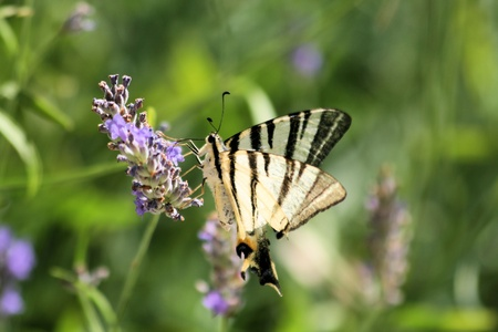 western tiger swallowtail on lavender photo