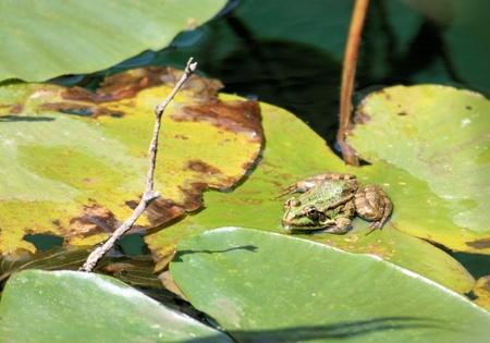 grenouille verte: grenouille verte sur une feuille de waterlilly Banque d'images