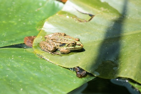 waterlilly: green frog on a waterlilly leaf