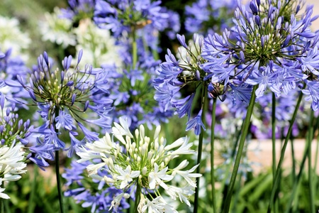 white and Blue Agapanthus