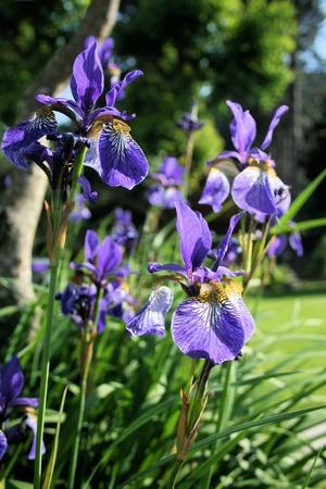 Iris germanica Stock Photo