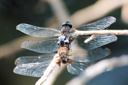 dragonfly s mating photo