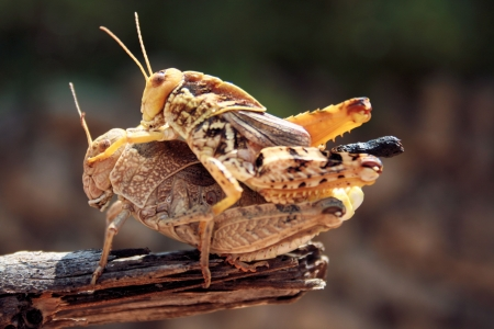 coupling: grasshoppers mating