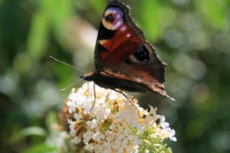 io: Aglais io on white Buddleja