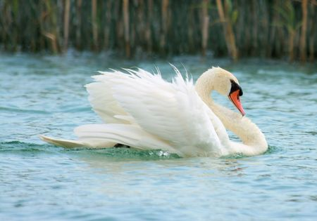 beautiful swan showing off photo