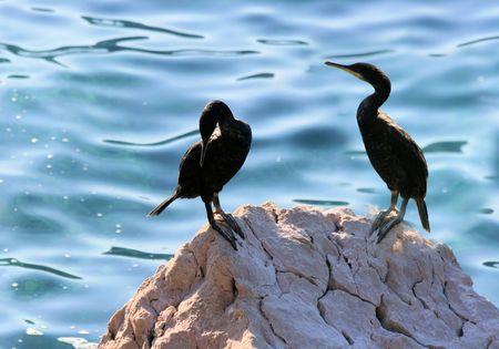 couple of cormoratnts Stock Photo - 22524374