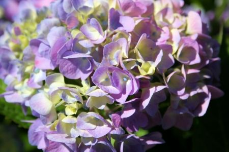 purple hydrangea photo