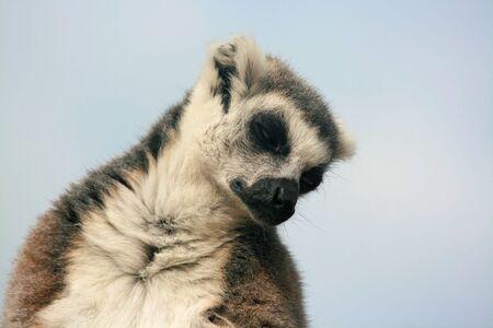 ring-tailed lemur falling asleep photo