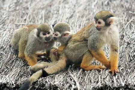 squirrel monkey photo