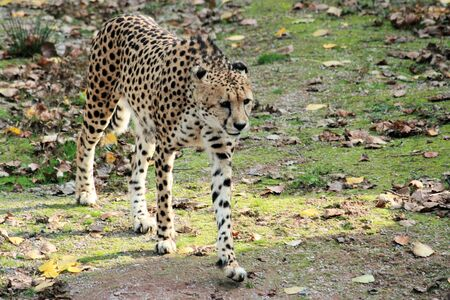 chetah: cheetah Stock Photo