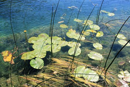 waterlilly en el r�o Zrmanja, Croacia photo