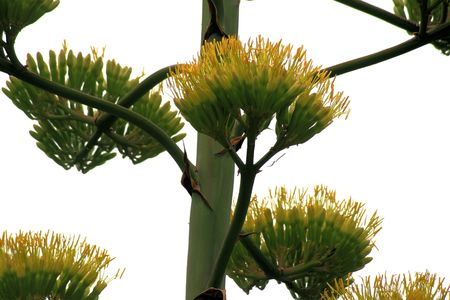 flowering cactus: flower of agave Stock Photo