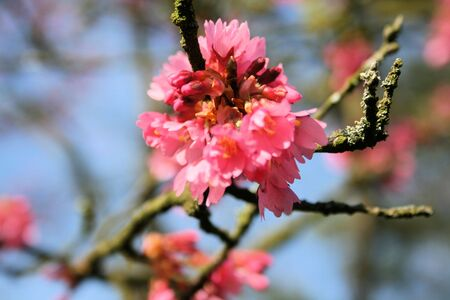 prunus blossoming  photo