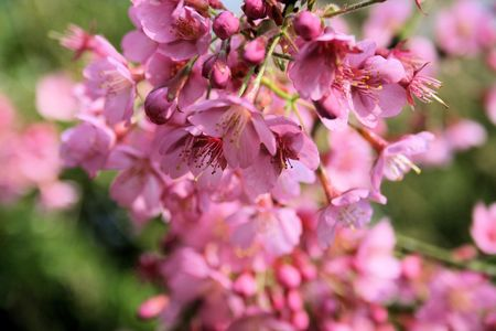 prunus: prunus blossoming